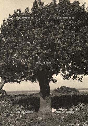 """MLD-F-000324-0000 - """"Pistachio trees"""" - Data dello scatto: 1930-35 ca. - Archivi Alinari, Firenze"""