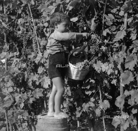 NVQ-S-002199-0031 - Grape harvesting: a child to work