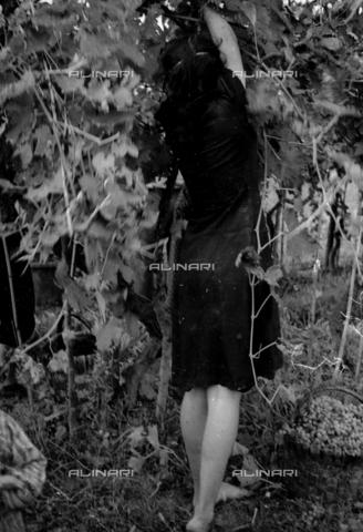NVQ-S-002199-3014 - Vendemmia: donna al lavoro - Data dello scatto: 1950 ca. - Archivi Alinari, Firenze