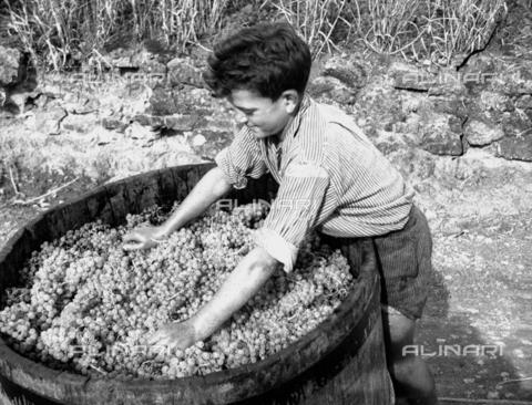NVQ-S-002199-3022 - Vendemmia: un ragazzo al lavoro - Data dello scatto: 1955 ca. - Archivi Alinari, Firenze