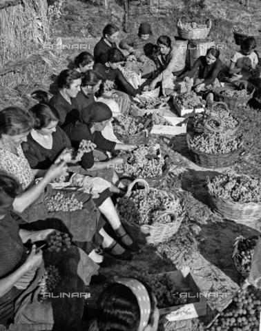 NVQ-S-002199-8005 - Vendemmia nei vigneti di Forrottoli a Quarrata: ritratto di gruppo - Data dello scatto: 1948 - Archivi Alinari, Firenze