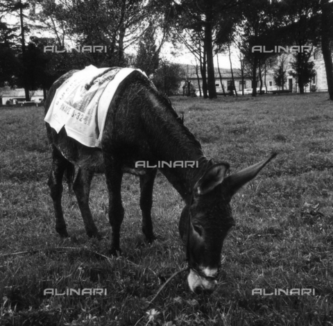 OMD-S-000355-0005 - An ass of Mount Amiata - Date of photography: 1964 - Fratelli Alinari Museum - donation Orioli, Florence