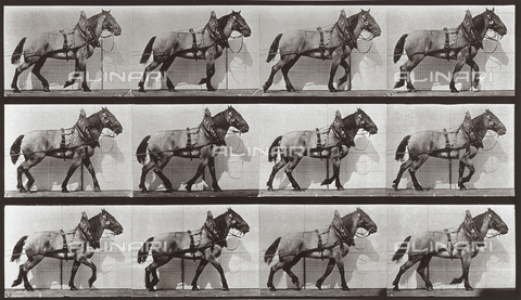 "PDC-A-004695-0567 - ""Animal Locomotion"" (plate 567): sequence with horse walking - Data dello scatto: 1887 - Archivi Alinari, Firenze"