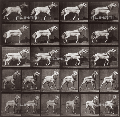 "PDC-A-004695-0572 - ""Animal Locomotion"" (tav. 572): sequenza con cavallo che cammina - Data dello scatto: 1887 - Archivi Alinari, Firenze"