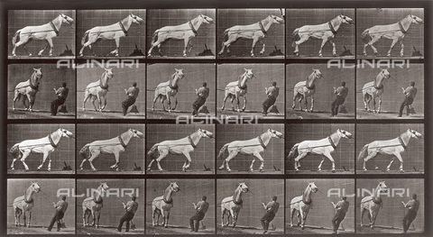 "PDC-A-004695-0573 - ""Animal Locomotion"" (tav. 573): sequenza con un uomo che tira un cavallo - Data dello scatto: 1887 - Archivi Alinari, Firenze"