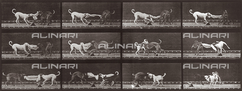 "PDC-A-004695-0715 - ""Animal Locomotion"" (plate 715): sequence with two dogs playing with a piece of material - Data dello scatto: 1887 - Archivi Alinari, Firenze"
