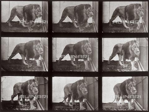 """PDC-A-004695-0721 - """"Animal Locomotion"""" (tav. 721): sequenza con un leone che si muove - Data dello scatto: 1887 - Raccolte Museali Fratelli Alinari (RMFA)-collezione Palazzoli, Firenze"""