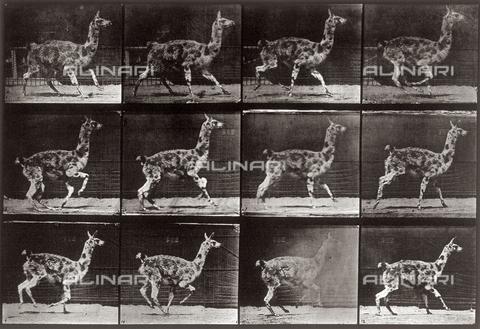 """PDC-A-004695-0743 - """"Animal Locomotion"""" (tav. 743): sequenza con un lama che cammina - Data dello scatto: 1887 - Raccolte Museali Fratelli Alinari (RMFA)-collezione Palazzoli, Firenze"""