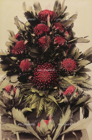 "PDC-A-005936-0007 - ""Wild flowers and animals of Australia"": composition of waratah (telopea) flowers"
