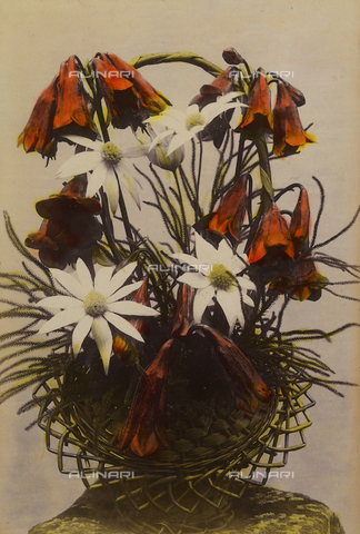 "PDC-A-005936-0013 - ""Wild flowers and animals of Australia"": vegetal composition of ""flannel flowers"" and ""christmas bells"""