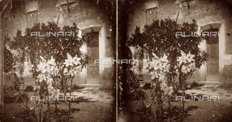 PDC-F-001431-0000 - Immagine di una pianta di gigli con un sullo sfondo la facciata di un edificio rustico - Data dello scatto: 1890-1900 ca. - Archivi Alinari, Firenze