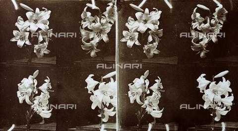 PDC-F-001446-0000 - Studio di un rametto di gigli in quattro pause - Data dello scatto: 1890-1900 ca. - Archivi Alinari, Firenze