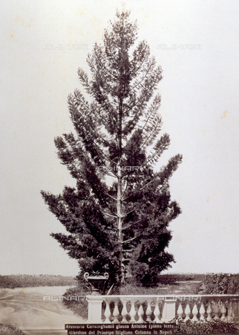 PDC-F-001823-0000 - Example of an Araucaria grown in the garden of Prince Stigliano-Colonna in Naples - Data dello scatto: 1870 ca. - Archivi Alinari, Firenze