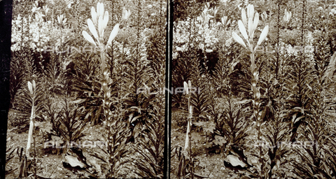 PDC-F-004730-0000 - Gigli in boccio - Data dello scatto: 1895 ca. - Archivi Alinari, Firenze