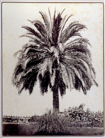 PDC-S-001821-0001 - Large example of a Phoenix Dactylifera, date palm, cultivated in the garden of the Prince Stigliano-Colonna in Naples. At its base, herbaceous and flowering plants - Data dello scatto: 1870 ca. - Archivi Alinari, Firenze