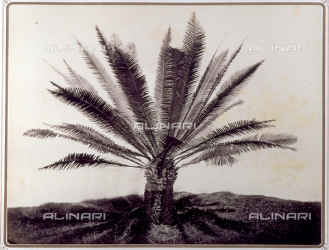 PDC-S-001821-0002 - Close-up of an example of 'Divon Edule', a palm tree with a stocky trunk and thick foliage, in the garden of Prince Stigliano-Colonna in Naples