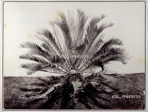 PDC-S-001821-0003 - A plam tree Eniephalartos in the garden of Prince Stigliano-Colonna in Naples - Data dello scatto: 1870 ca. - Archivi Alinari, Firenze