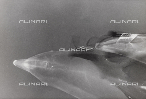 PFA-F-000051-0000 - Dolphins in the Adriatic
