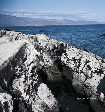 QFA-S-001049-00SP - Una colonia di iguane si riposa al sole sulle rocce. Arcipelago delle Galapagos - Data dello scatto: 1970 - Folco Quilici © Fratelli Alinari