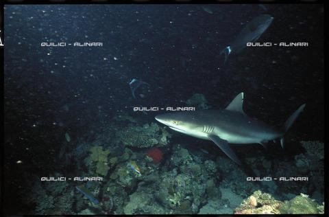 QFA-S-001854-00FQ - Uno squalo chiamato rairà dai polinesiani, fotografato nell'alto fondale di Huainè, Isole Sottovento. Polinesia - Data dello scatto: 1992 - Folco Quilici © Fratelli Alinari