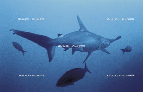 QFA-S-007001-00FQ - Uno squalo martello maggiore si allontana dal fotografo nei fondali di Cocos Island. Costa Rica - Data dello scatto: 1992 - Folco Quilici © Fratelli Alinari