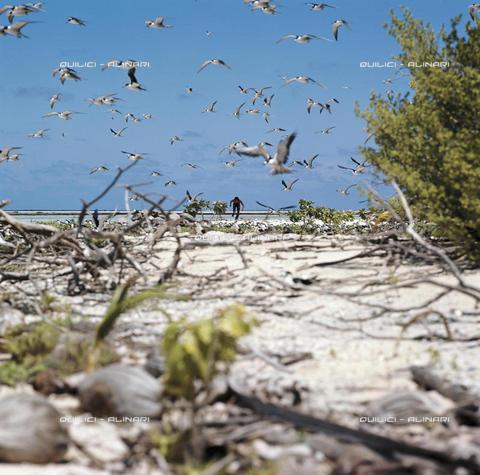 QFA-S-022701-00SP - Raccolta di uova di gabbiano sulla riva della laguna di Ahé, Polinesia - Data dello scatto: 1969 - Folco Quilici © Fratelli Alinari