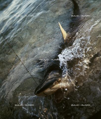 QFA-S-053024-00SP - Tuamotu Islands. Rangiroa. Capturing a Tiger Shark. - Data dello scatto: 1959 - Folco Quilici © Fratelli Alinari