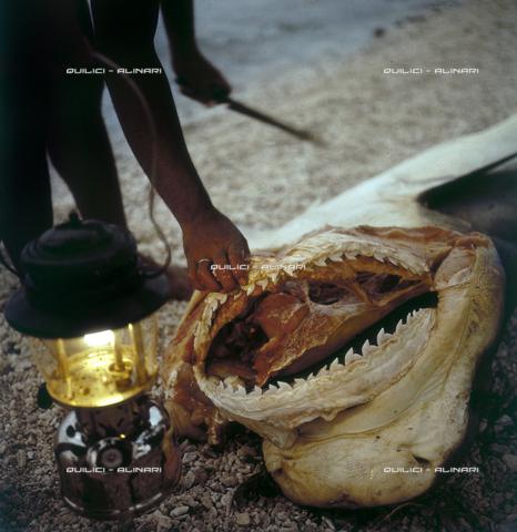 QFA-S-053036-00SP - Isole Tuamotu. Rangiroa. Cattura di squalo tigre. - Data dello scatto: 1959 - Folco Quilici © Fratelli Alinari