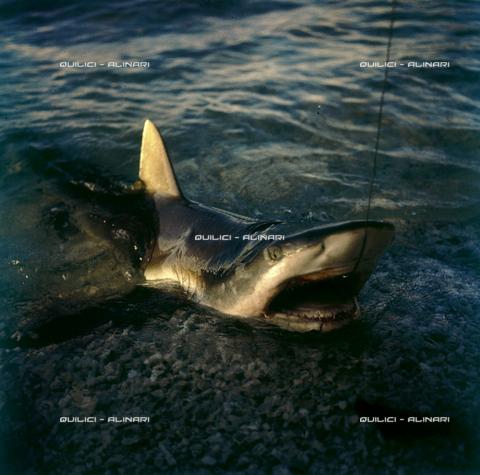 QFA-S-053038-00SP - Isole Tuamotu. Rangiroa. Cattura di squalo tigre. - Data dello scatto: 1959 - Folco Quilici © Fratelli Alinari