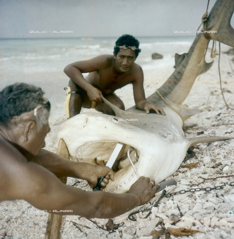 QFA-S-053039-00SP - Isole Tuamotu. Rangiroa. Cattura di squalo tigre. - Data dello scatto: 1959 - Folco Quilici © Fratelli Alinari