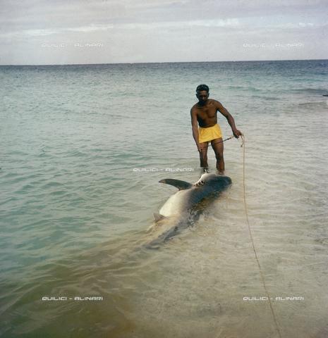 QFA-S-053043-00SP - Isole Tuamotu. Rangiroa. Cattura di squalo tigre. - Data dello scatto: 1959 - Folco Quilici © Fratelli Alinari