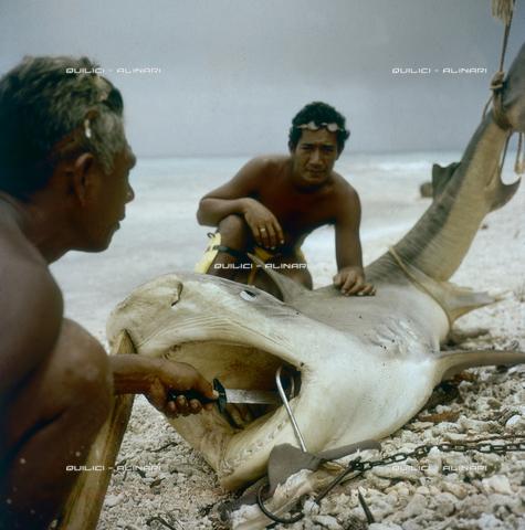 QFA-S-053052-00SP - Isole Tuamotu. Rangiroa. Cattura di squalo tigre. - Data dello scatto: 1959 - Folco Quilici © Fratelli Alinari