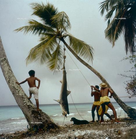 QFA-S-053056-00SP - Isole Tuamotu. Rangiroa. Cattura di squalo tigre. - Data dello scatto: 1959 - Folco Quilici © Fratelli Alinari