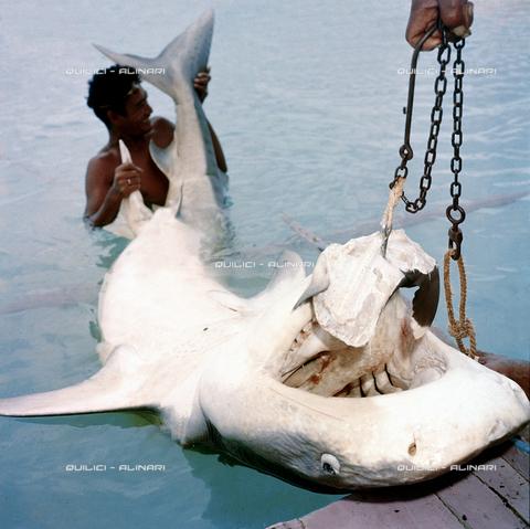 QFA-S-053057-00SP - Tuamotu Islands. Rangiroa. Capturing a Tiger Shark. - Data dello scatto: 1959 - Folco Quilici © Fratelli Alinari
