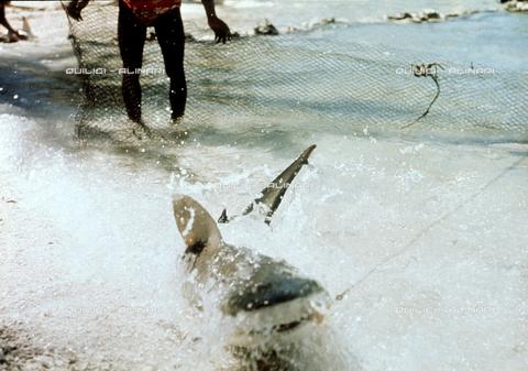 QFA-S-053058-00SP - Tuamotu Islands. Rangiroa. Capturing a Tiger Shark. - Data dello scatto: 1959 - Folco Quilici © Fratelli Alinari