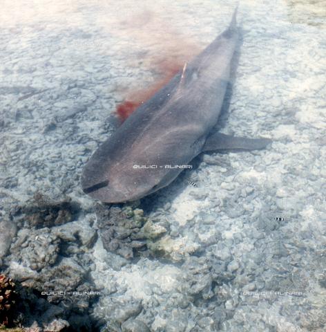 QFA-S-053064-00SP - Isole Tuamotu. Rangiroa. Cattura di squalo tigre. - Data dello scatto: 1959 - Folco Quilici © Fratelli Alinari