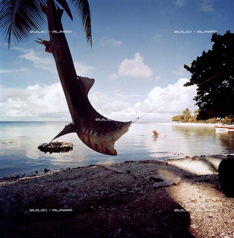 QFA-S-053068-00SP - Isole Tuamotu. Rangiroa. Cattura di squalo tigre. - Data dello scatto: 1959 - Folco Quilici © Fratelli Alinari