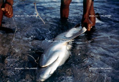 QFA-S-053072-00SP - Isole Tuamotu. Rangiroa. Cattura di squalo tigre. - Data dello scatto: 1959 - Folco Quilici © Fratelli Alinari