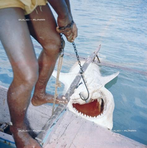 QFA-S-053074-00SP - Tuamotu Islands. Rangiroa. Capturing a Tiger Shark. - Data dello scatto: 1959 - Folco Quilici © Fratelli Alinari