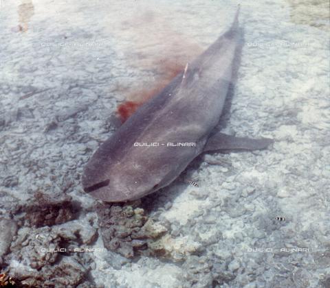 QFA-S-053078-00SP - Tuamotu Islands. Rangiroa. Capturing a Tiger Shark. - Data dello scatto: 1959 - Folco Quilici © Fratelli Alinari