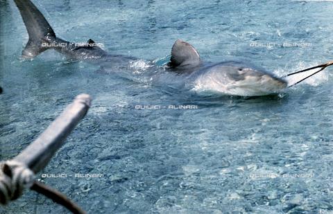 QFA-S-053082-00SP - Tuamotu Islands. Rangiroa. Capturing a Tiger Shark. - Data dello scatto: 1959 - Folco Quilici © Fratelli Alinari