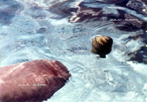 """QFA-S-053402-00SP - Tuamotu Islands. Manihi. The climax of the hunt with '""""uru"""" boiling (the breadfruit). - Data dello scatto: 1954 - Folco Quilici © Fratelli Alinari"""