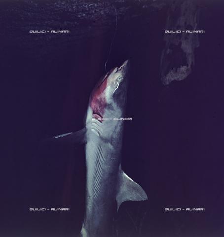 QFA-S-054401-00SP - Tuamotu Islands. Manihi. Night fishing hook, catching small sharks - Data dello scatto: 1955 - Folco Quilici © Fratelli Alinari