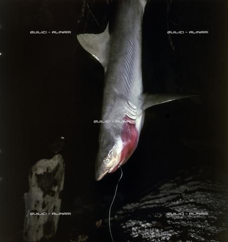 QFA-S-054403-00SP - Tuamotu Islands. Manihi. Night fishing hook, catching small sharks - Data dello scatto: 1955 - Folco Quilici © Fratelli Alinari