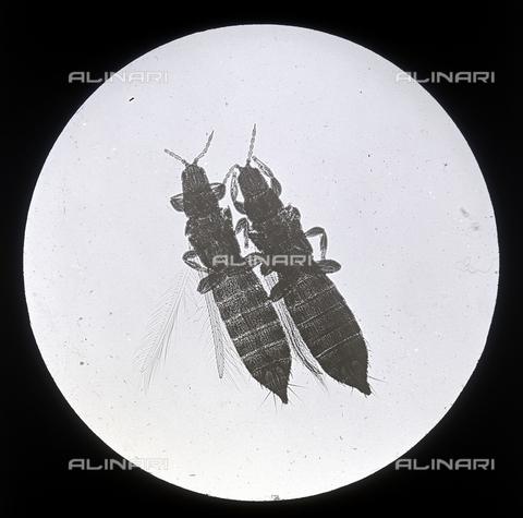 RGD-F-001447-0000 - Thrips vulgarissimus (Thripsidae Pseudo-Neuropteri) ingrandito al microscopio - Data dello scatto: 1878-1898 - Archivi Alinari, Firenze