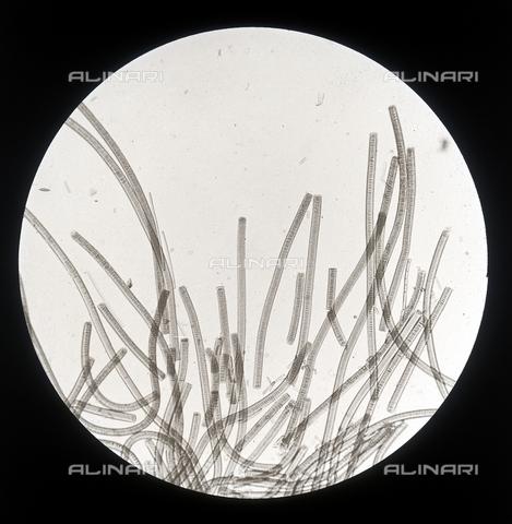 RGD-F-001614-0000 - Cellule di 'Oscillaria Viridis' (Oscillatoria) ingrandite al microscopio - Data dello scatto: 1898 - Archivi Alinari, Firenze
