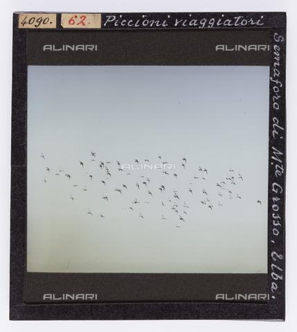 RGD-S-000062-4090 - Flock at the Monte Grosso Semaforo, Elba Island - Data dello scatto: 1890-1910 - Archivi Alinari, Firenze