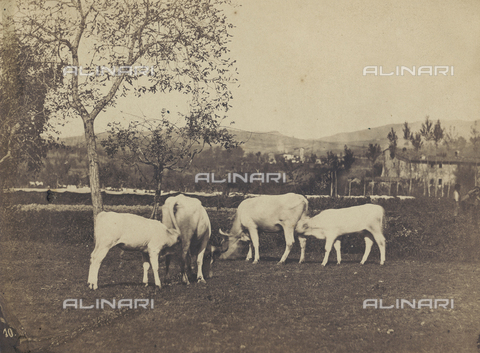 SCC-F-001262-0000 - Country life: grazing cows - Data dello scatto: 1870-1875 ca. - Archivi Alinari, Firenze