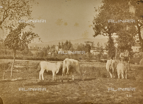 SCC-F-001263-0000 - Country life: grazing cows - Data dello scatto: 1870-1875 ca. - Archivi Alinari, Firenze