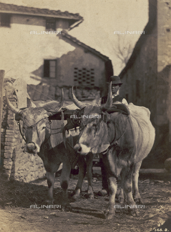SCC-F-001264-0000 - Country life: factor with two oxen - Data dello scatto: 1870 ca. - Archivi Alinari, Firenze